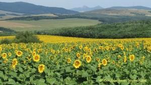 Hongarije landschap met zonnebloemen